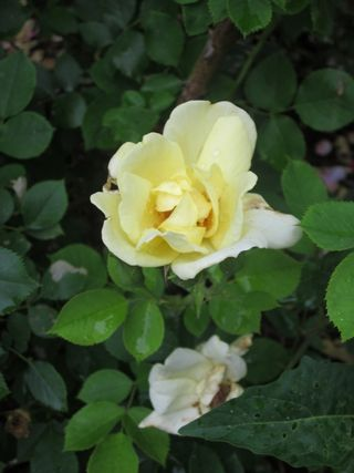 Roses 051 (600x800)