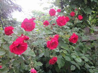 Roses 035 (800x600)
