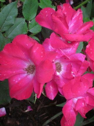 Roses 022 (600x800)